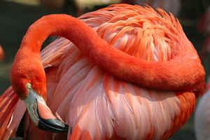 Flamingo red head 300